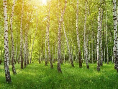 Kapiele-Lesne-las-brzozowy-w-sloncu