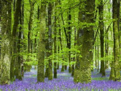 Kapiele-Lesne-las-z-fioletowymi-kwiatkami